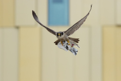 Falcon Returning with Lunch. Photo by Craig Denford.