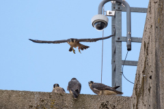 Four Juveniles with the Overhead Cam in the Background. Photo by James Sellen.