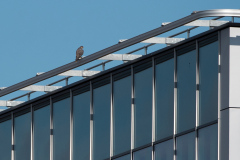Peregrine Perched on Nearby Building. Photo by James Sellen.