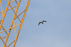 Peregrine Flying by Yellow Crane. Photo by Craig Denford.
