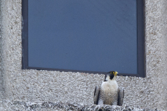Adult Falcon on Export House ledge. Photo by James Sellen.