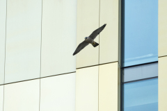 Juvenile flying past the new hotel. Photo by James Sellen.