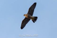 Juvenile in Flight. Photo courtesy of Jonathan Mullin.