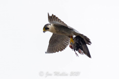 The Falcon with prey. Photo courtesy of Jonathan Mullin.