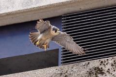 Falcon Leaving the Nestbox. Photo courtesy of Jonathan Mullin.