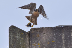 Falcon with Moorhen. Photo courtesy of  Alex Wright.