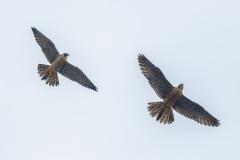 Juvenile Size Comparison  - male on the left. Photo by Craig Denford
