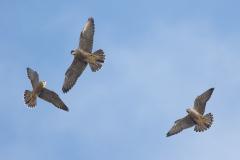 Three Juveniles. Photo by Craig Denford