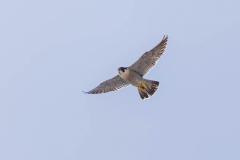 Tiercel in flight. Photo courtesy of Jonathan Mullin.