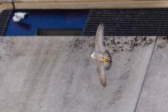 Falcon in flight II. Photo courtesy of Jonathan Mullin.