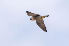Falcon in flight. Photo courtesy of Jonathan Mullin.
