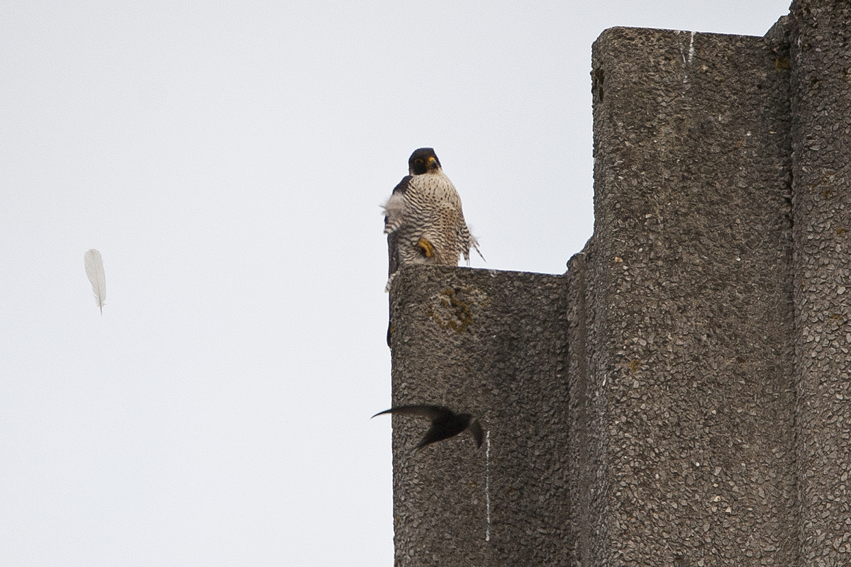 Tiercel with a Swift flying by. Photo by James Sellen.