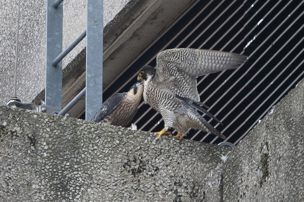 Adult falcon and Juvenile. Photo by James Sellen.