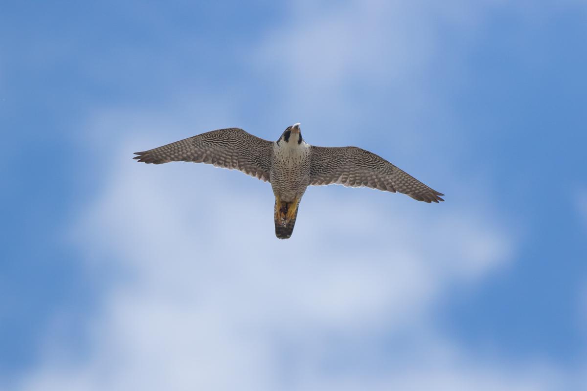 Peregrine Falcon. Photo by Craig Denford.