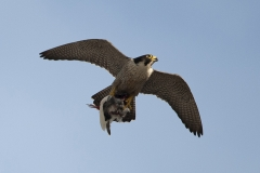 Adult falcon with pigeon. Photo by James Sellen.