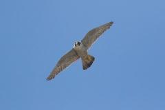 Falcon Head On. Photo by Craig Denford.