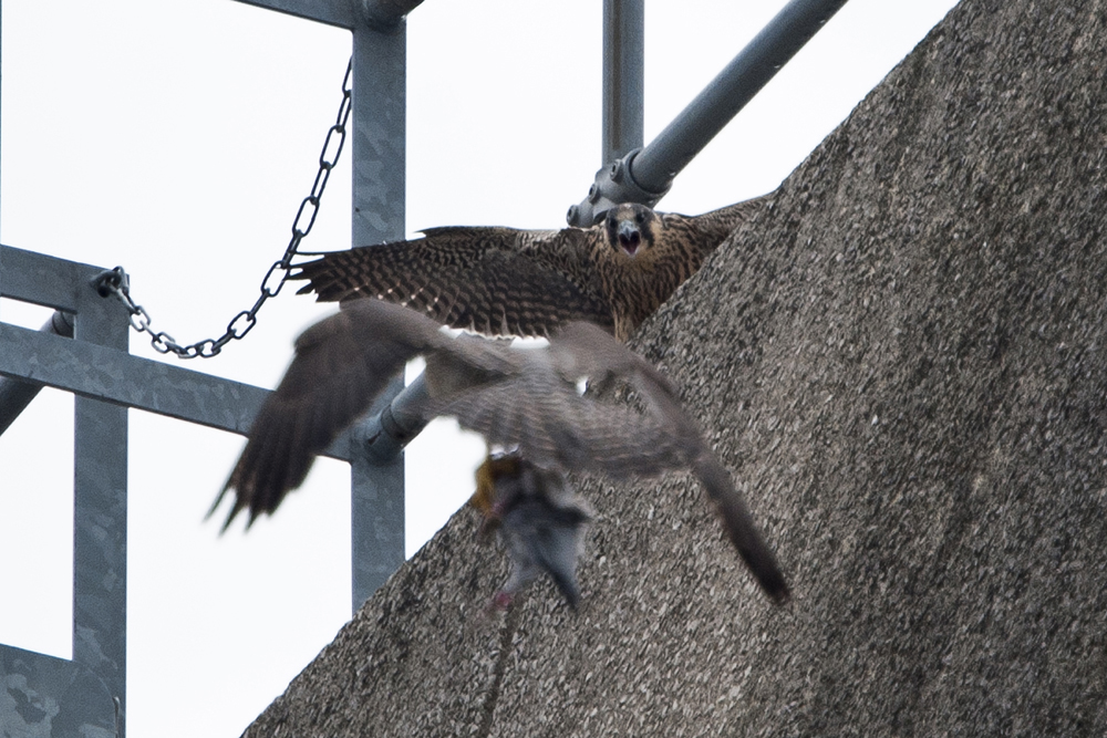 Juvenile Tiercel. Photo by James Sellen.