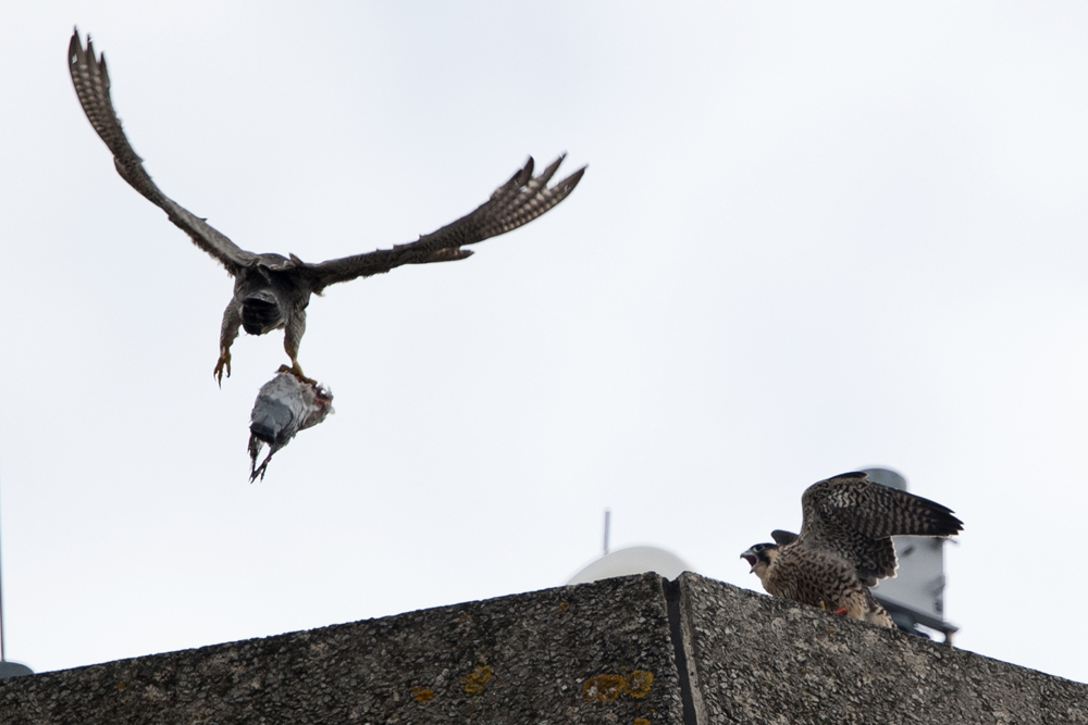 Peregrine on the North End. Photo by James Sellen.
