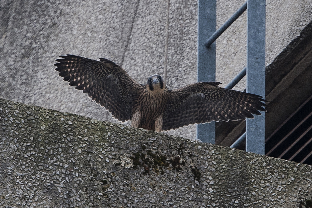 Juvenile Falcon on the North West End. Photo by James Sellen.