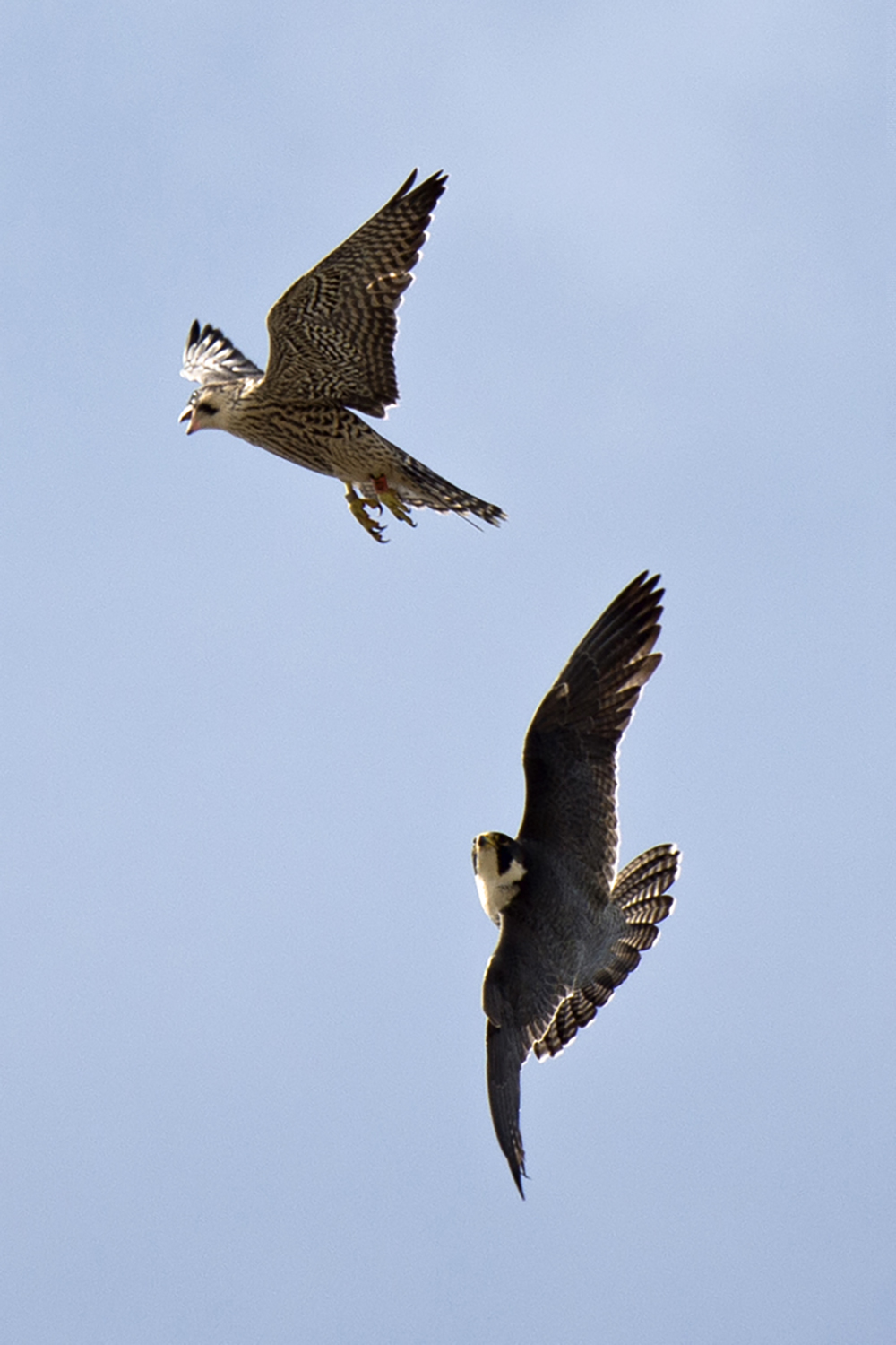 Adult Tiercel with Juvenile Peregrine. Photo by James Sellen.