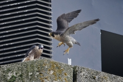 Juvenile Falcon and Adult Tiercel on the North End. Photo by James Sellen.