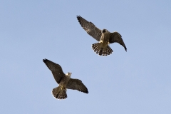 Juvenile Peregrines. Photo by James Sellen.