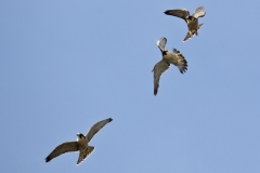 Adult Tiercel with Juvenile Peregrines. Photo by James Sellen.