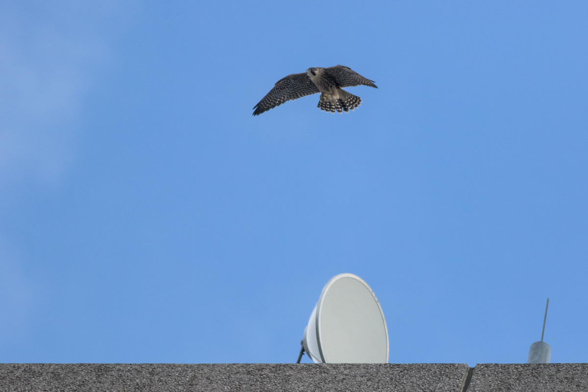 Juvenile Peregrine flying over the Satellite Dish. Photo by Craig Denford.