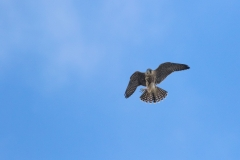 Juvenile Peregrine in the sky. Photo by Craig Denford.