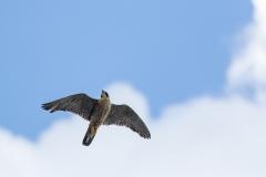 Peregrine overhead. Photo by Craig Denford.