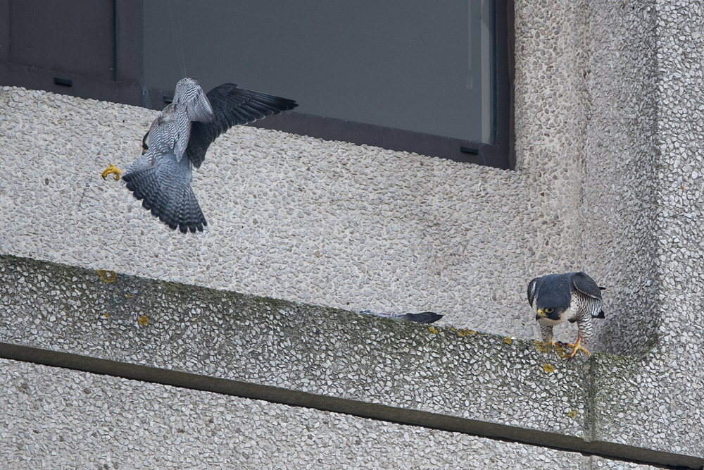 Tiercel and Falcon, Export House. Photo by James Sellen.