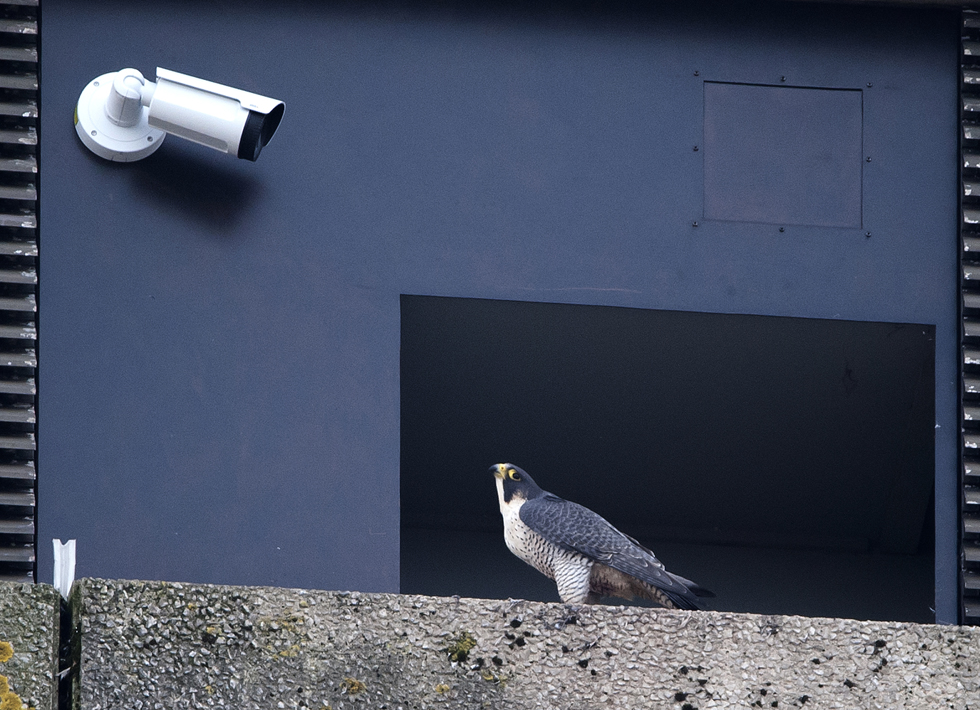 Falcon outside the nest box. Photo by James Sellen.