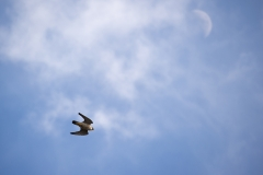 Falcon in Flight. Photo by James Sellen.