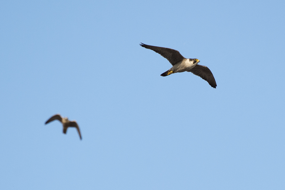 Adult tiercel and juvenile. Photo by James Sellen.