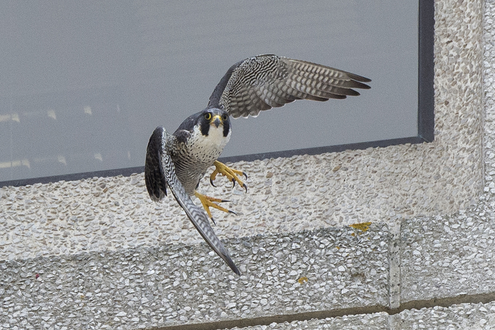 Adult falcon. Photo by James Sellen.