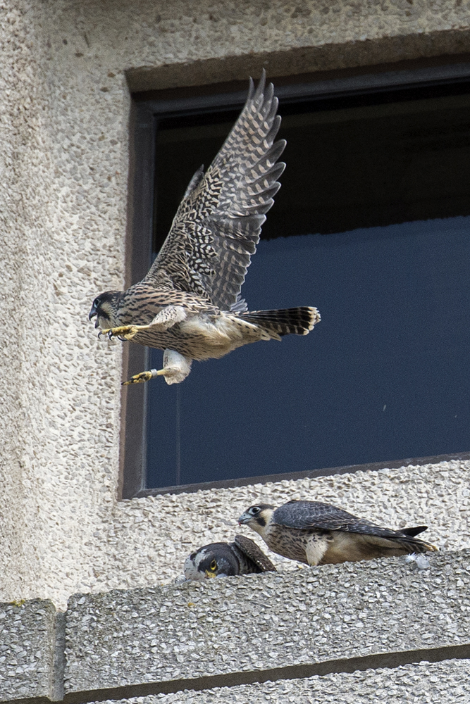 Adult falcon and Juveniles. Photo by James Sellen.