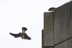 Peregrines. Photo by James Sellen.