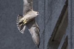 Juvenile. Photo by James Sellen.