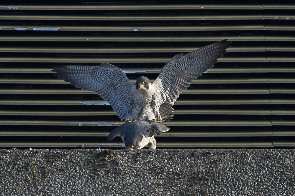 Peregrines, West side, Export House by James Sellen