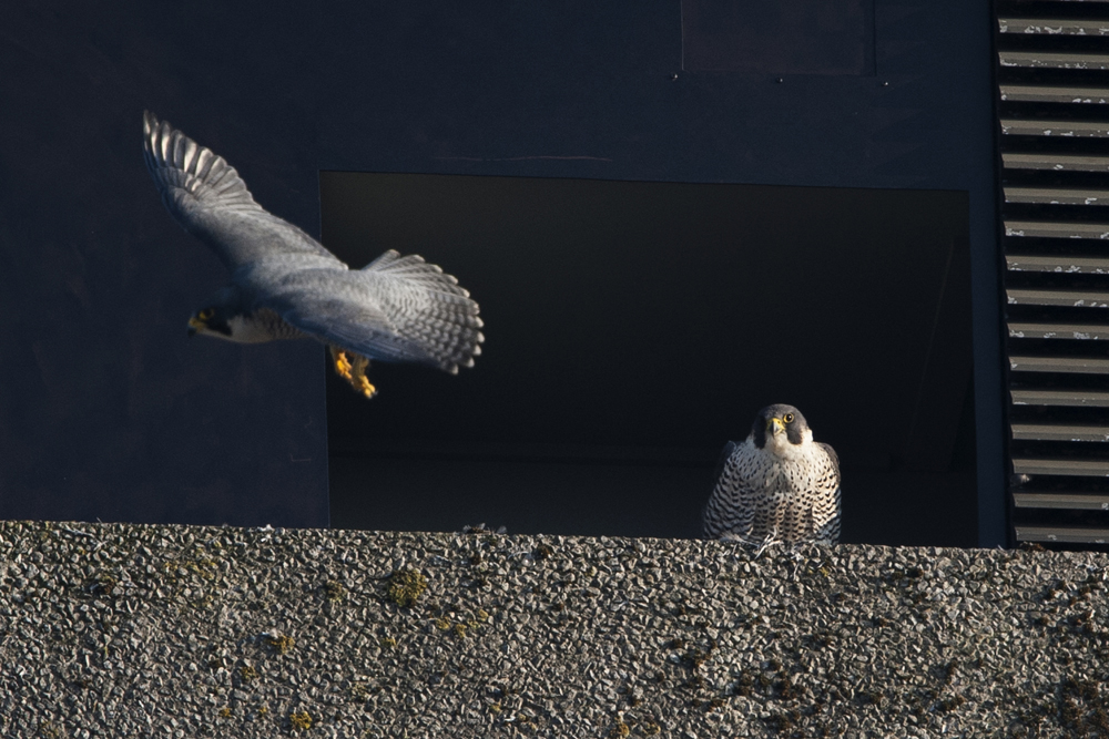 Peregrines, North West side, Export House by James Sellen
