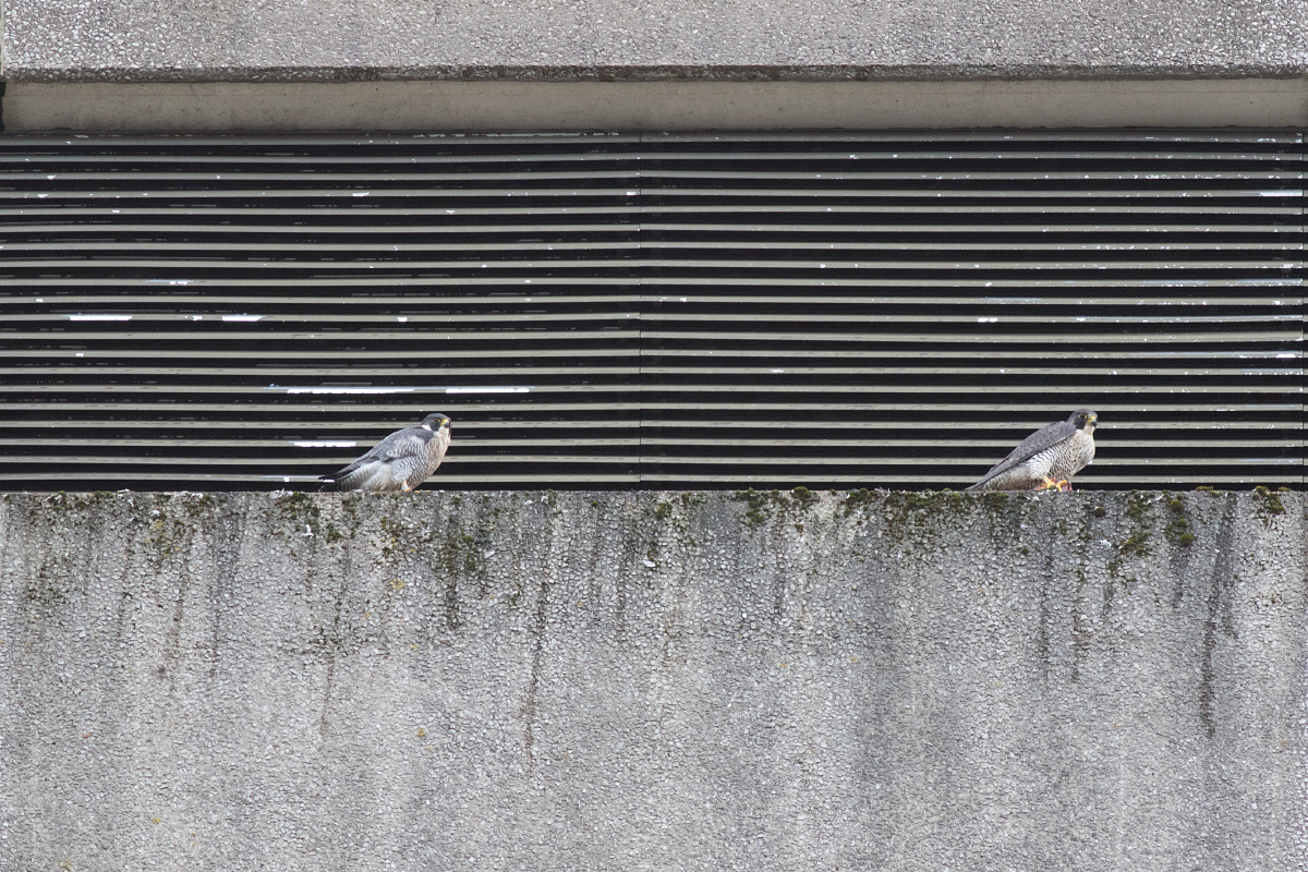 Peregrine Line Up by Craig Denford