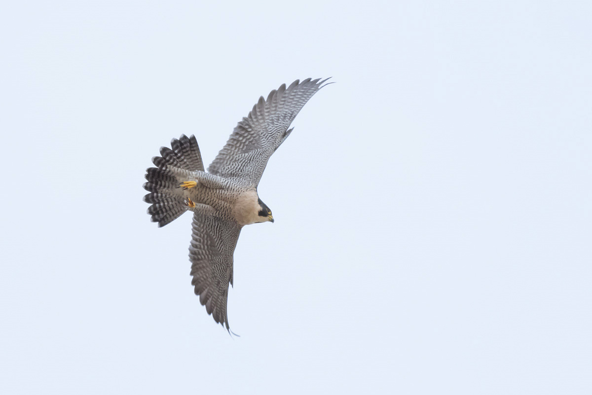 Peregrine Swooping by Craig Denford
