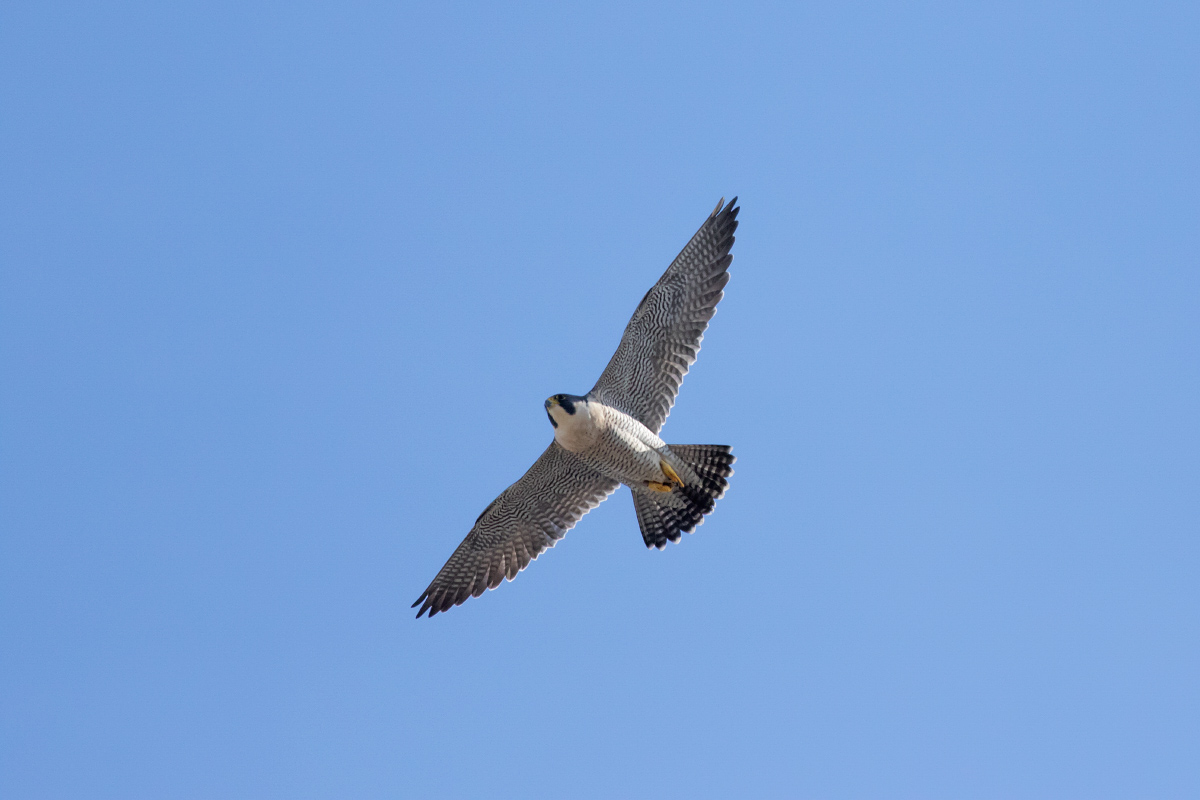 Peregrine Hovering by Craig Denford