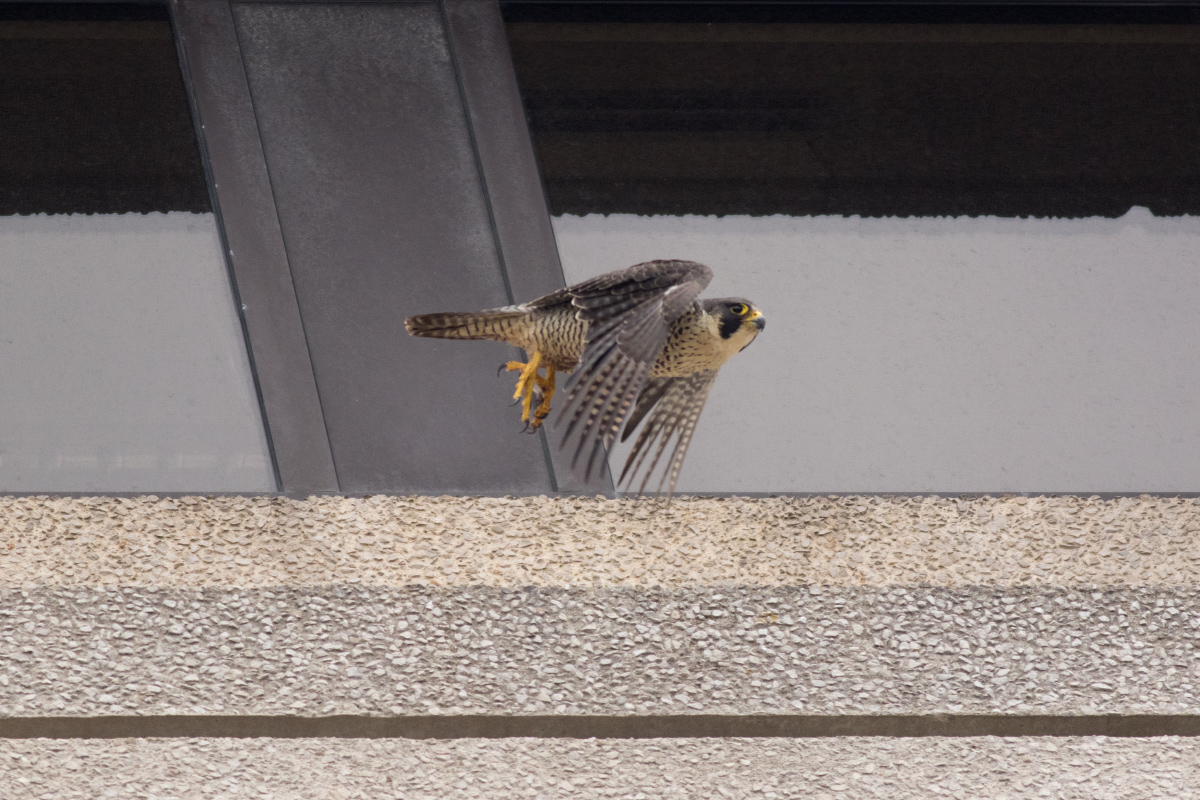 Adult Peregrine taking flight from a 9th floor ledge. Photo by Craig Denford.