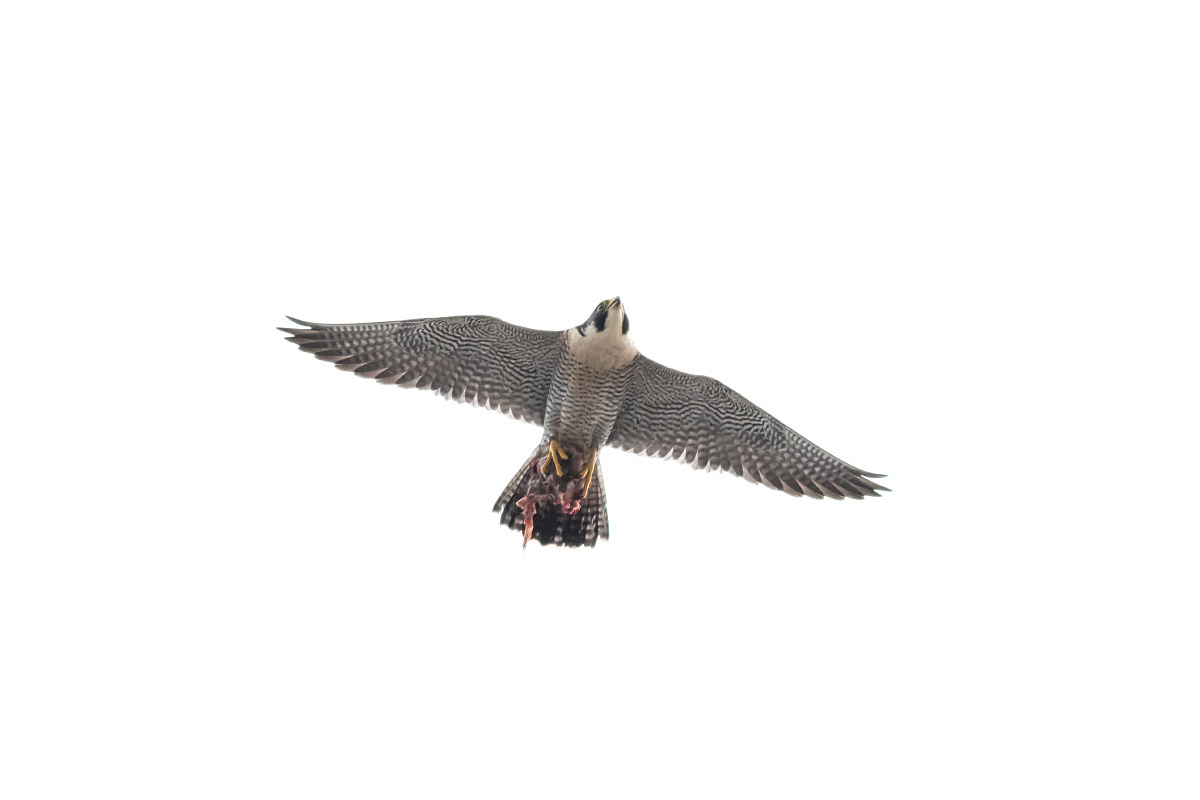 Peregrine with Catch by Craig Denford