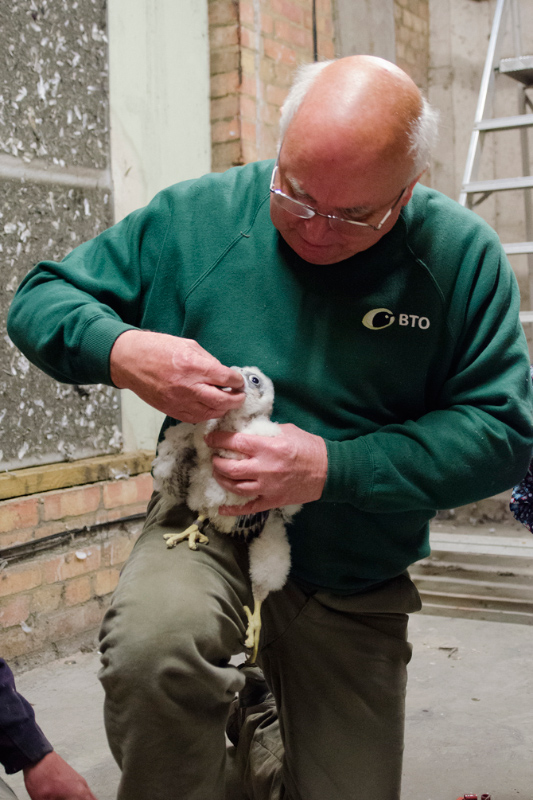 Richard Denyer with Peregrine Juvenile. Photo by James Sellen.