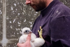 Jon Denyer with Peregrine Juvenile. Photo by James Sellen.