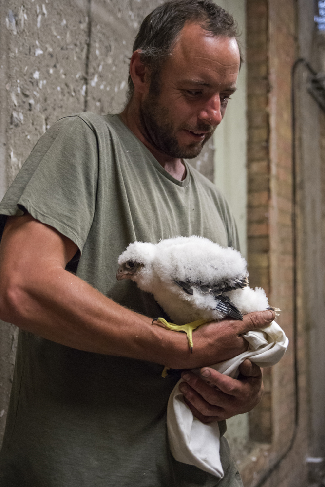 Ringing Peregrine Chick. Photo by James Sellen.