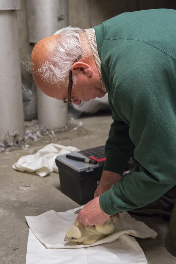 Richard Denyer ringing a peregrine chick