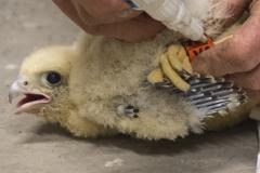 Jeremy Gates ringing peregrine chick